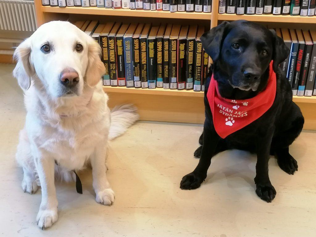 Kaksi lukukoiraa kultainen noutaja Minttu ja labradorinnoutaja Tilda.