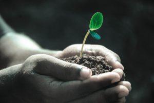 Käsien välissä on multaa, josta kasvaa taimi.