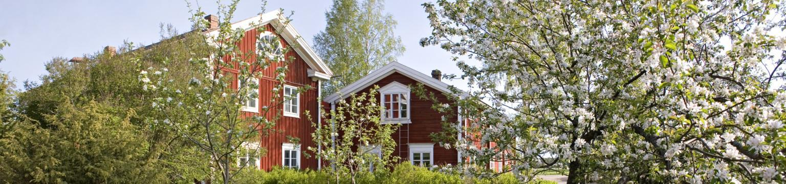 Hämes-Havunen, punainen pohjalaistalo. Kaksi pohjalaistaloa, jossa talon nurkat lähellä toisian. Kuvan edessä kukassa olevia omenapuita.